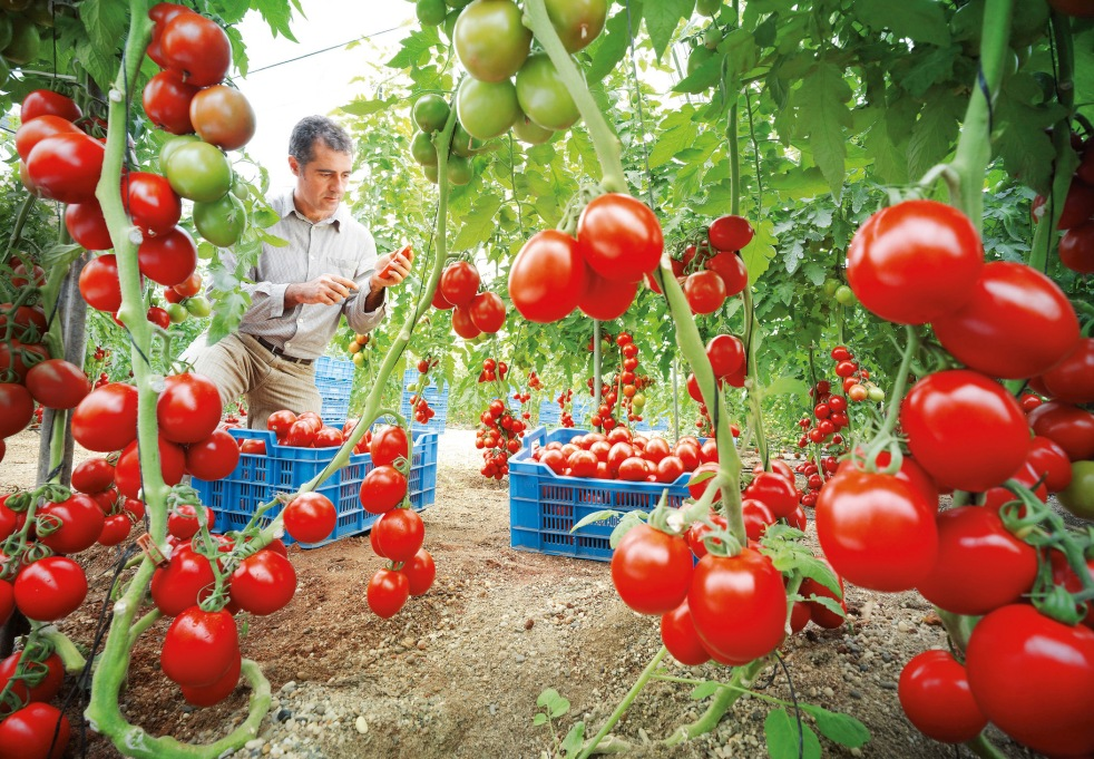Jorge Marin Ruiz erntet Tomaten, deren Saatgut Nunhems-Forscher mit einer natürlichen Resistenz gegen Tomaten-Viren ausgestattet haben.  Bildquelle: Bayer CropScience AG Bild Verwertung: Nutzung mit Quellenvermerk für redaktionelle Beiträge über den Bayerkonzern gestattet. Die kommerzielle Weitergabe an Dritte ist unzulässig. ----------------------------------------------- Jorge Marin Ruiz harvests tomatoes grown from seeds which Nunhems researchers modified to give them a natural resistance to tomato viruses.  Photo credit: Bayer CropScience AG Photo use: Photo may be used to accompany reports on Bayer provided the source is mentioned. Resale to third parties is prohibited.